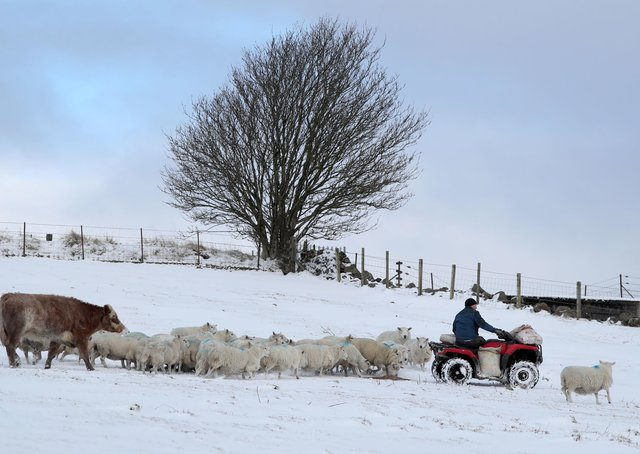 Farmer Peter Laidlaw from Craigannet Farm at Carronvalley feeding his sheep and cows as bitterly cold winds continue to grip much of the nation