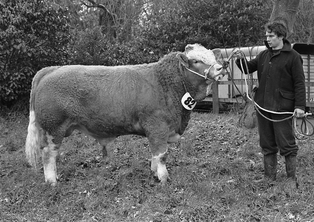 The outstanding Simmental bull of Joe Campbell from Strabane, Co Tyrone, which was top of the breed performance test at at Loughgall, Co Armagh, in February 1982. Picture: Farming Life archives
