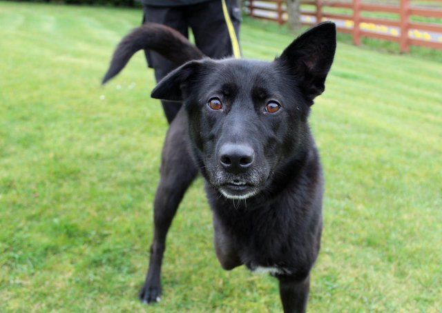 Saffy is a sweet, four-year-old Labrador cross, searching for her special family.