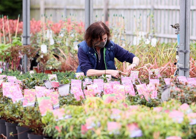 Debra McNeice prepares her plants at Drum House Nurseries in Drumbeg, outside Belfast, yesterday ahead of click-and-collect opening today
