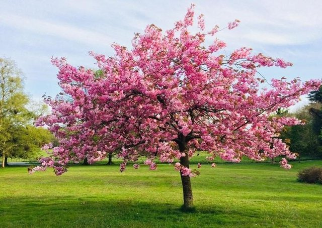 Cherry Blossom tree, Derrymore, Co Armagh