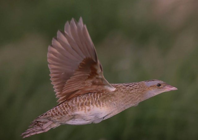 A corncrake in flight captured this week by Northcoast Nature/Tom McDonnell
