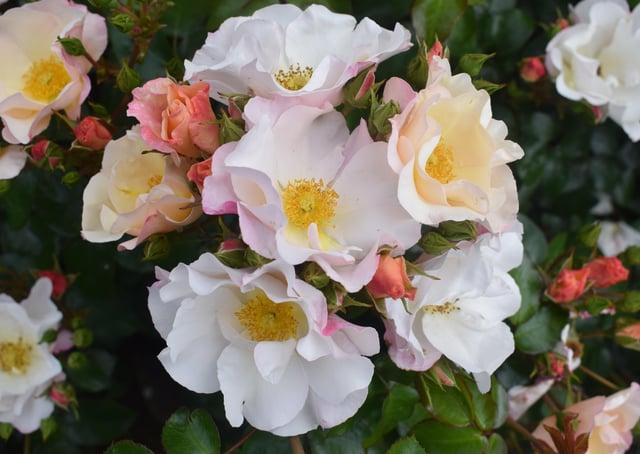 Northern Ireland Centenary rose