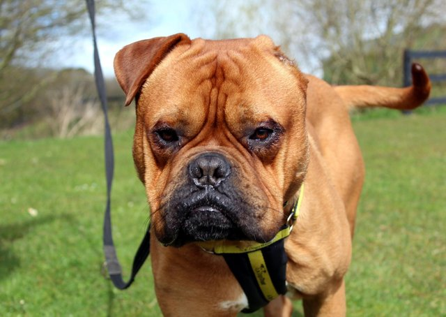 Dog De BordeauX Vincent is a friendly big lad who enjoys the attention and company of people
