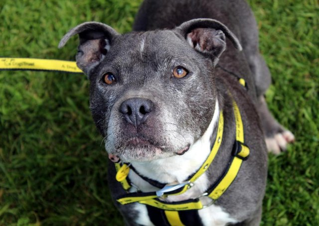 Staffordshire Bull Terrier Hunter is an extremely affectionate and playful boy with plenty of energy