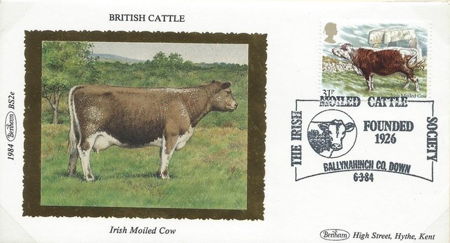 In celebration of the Irish Moiled Cow