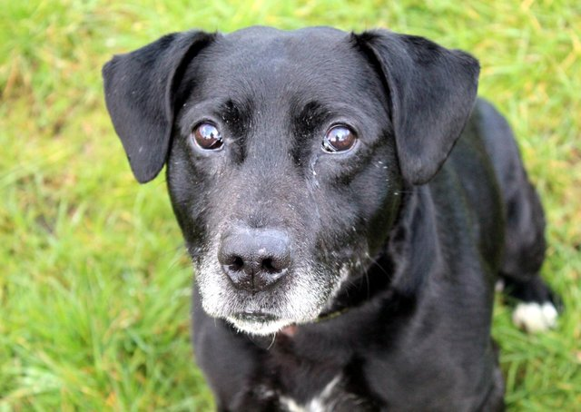 Shadow is a lovely, friendly Lab cross. He loves human company, getting out for his daily walks and exercise, and adores his food