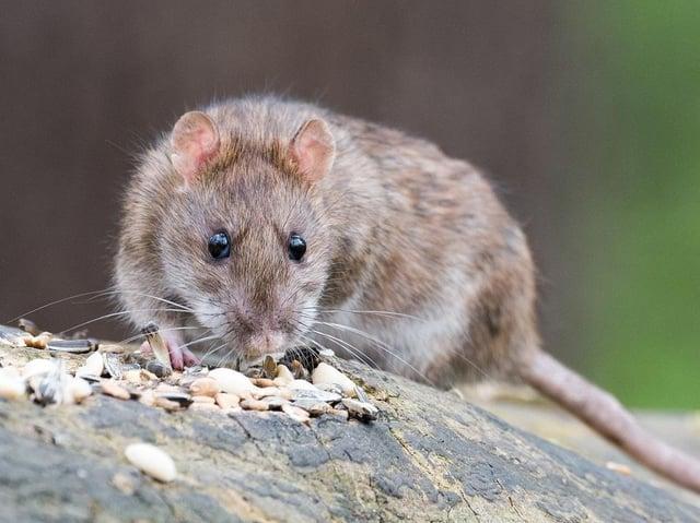 Rats.