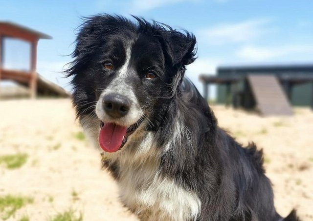 Border Collie Jess is a very friendly lady who loves getting a fuss made over her and lots of cuddles.