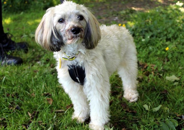 Chinese Crested  Brody can be shy when he first meets new people, however he will come round in his own time and can be a very affectionate little dog