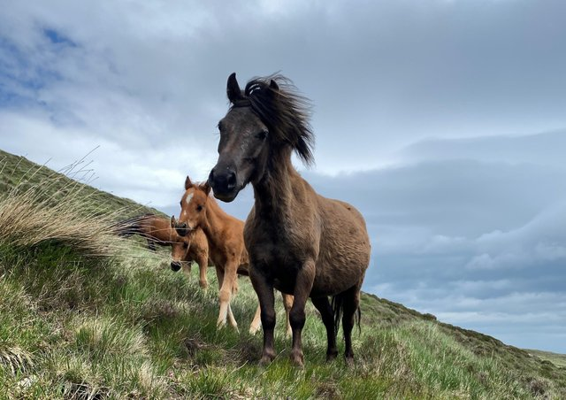 The National Trust is concerned for the welfare of feral horses living in the Mourne Mountains